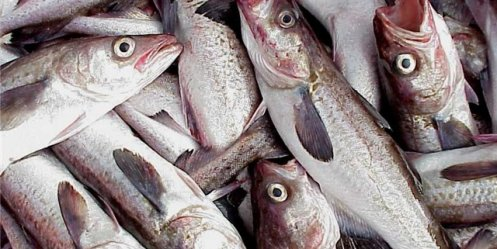 Quarterly catch fishermen Primorye was the best in five years