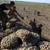 Vegetable production in Primorye more than last year